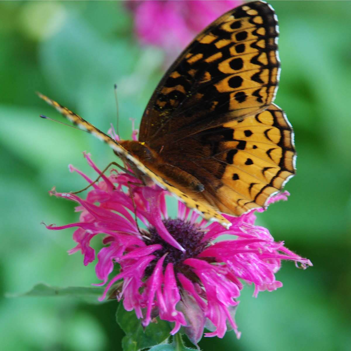 butterfly in bee balm