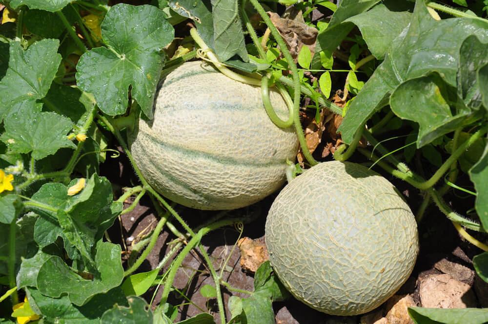 cantaloupe growing in a home garden