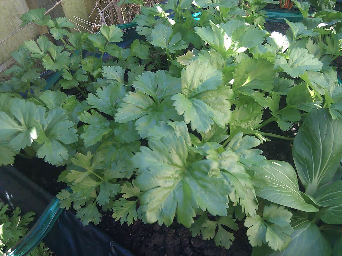 celery growing in garden
