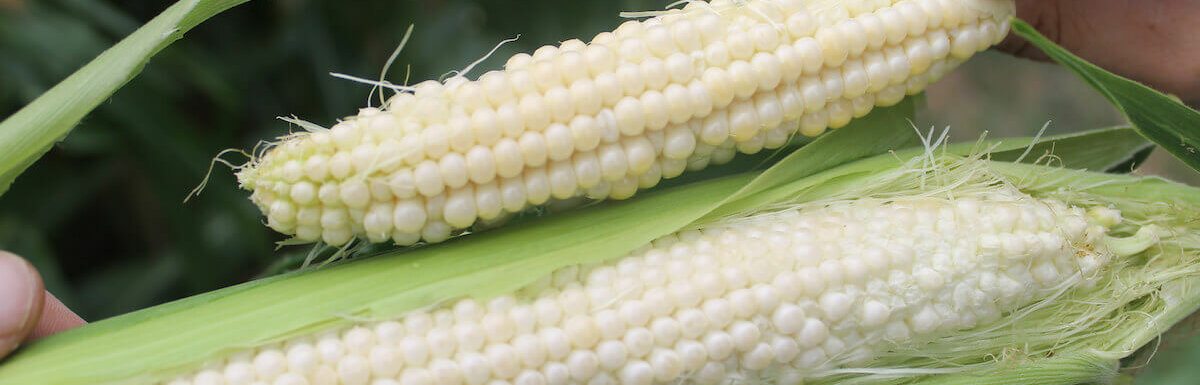 corn harvested