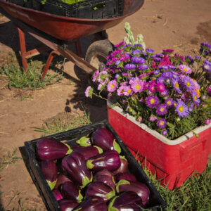 eggplants harvested