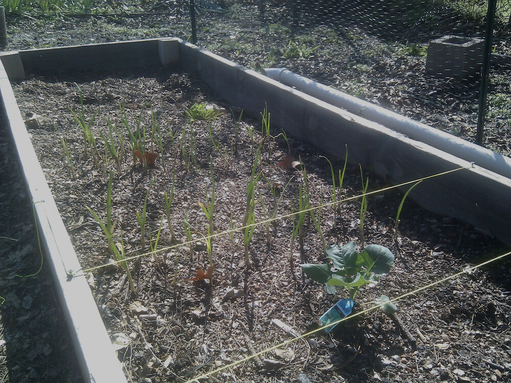 broccoli and onions growing together in a garden bed