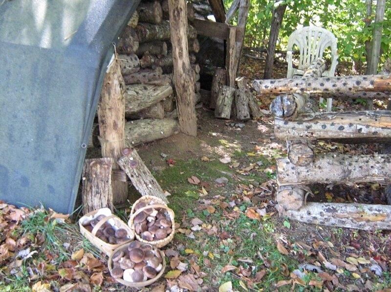 shiitake mushroom harvest scene