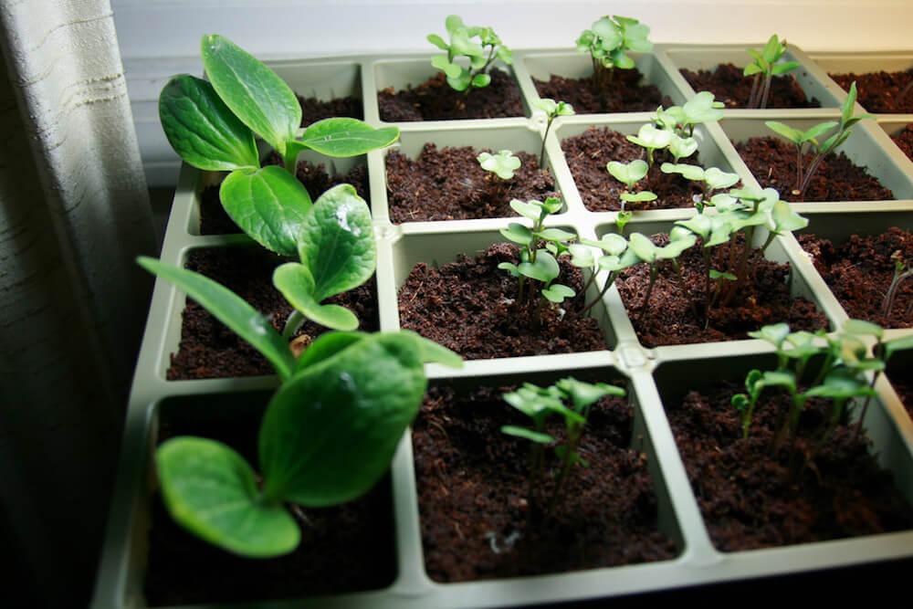 squash and broccoli seedlings