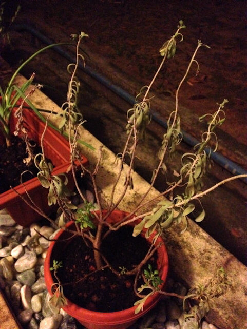 wilting caused by root rot