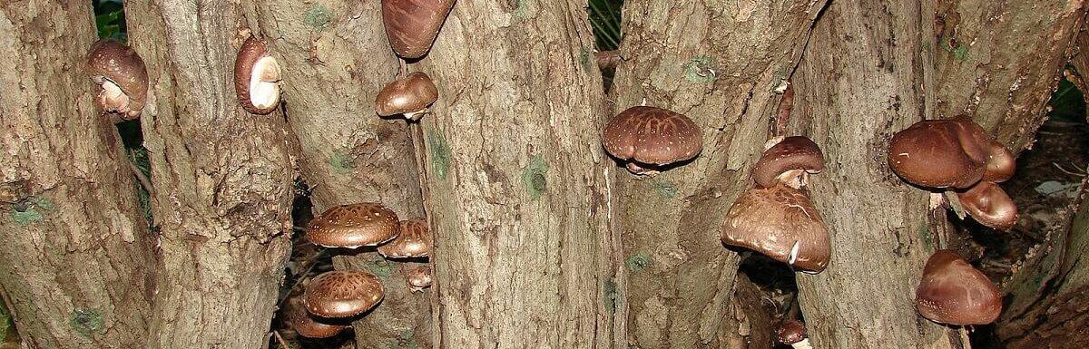shiitake mushrooms on log