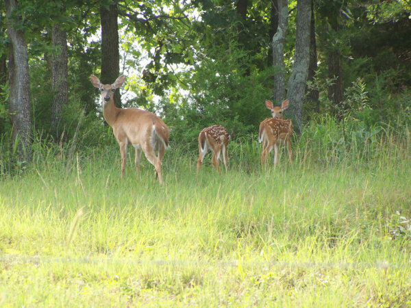 A deer is with her fawn by a tree line.