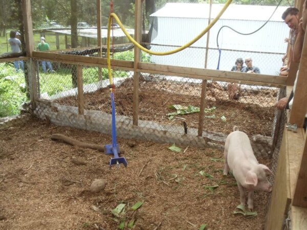 A pig is seen in a pen with a hose like device hanging from the post above.