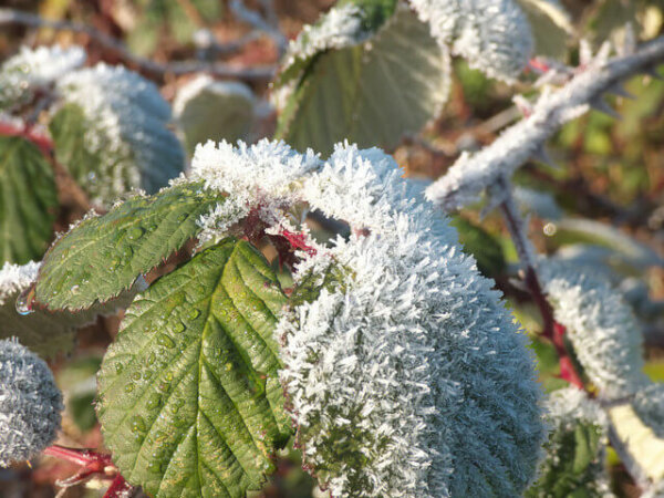 A bramble branch is seen with frost sticking on the leaves.
