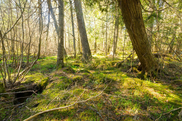 This picture shows a forest with green moss and light coming through the branches.