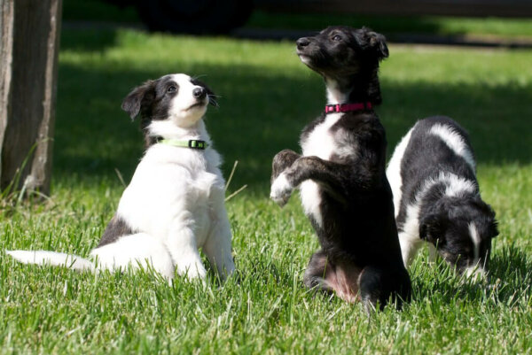 Three puppies are playing in the grass.