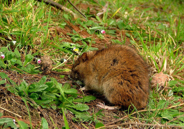 A small brown mouse is resting in some short grass.