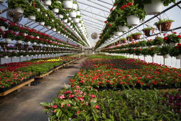 Flowers are hanging from the ceiling of the green house, with others on low tables.
