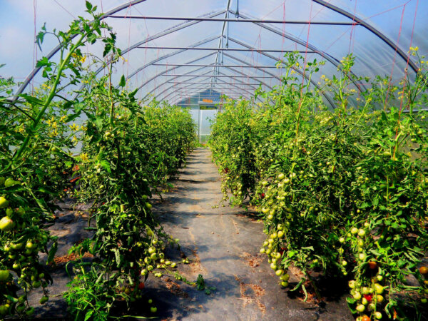 A row of tomato plants lines either side of the greenhouse.