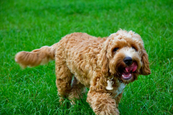 A brown, curly haired dog in grass.