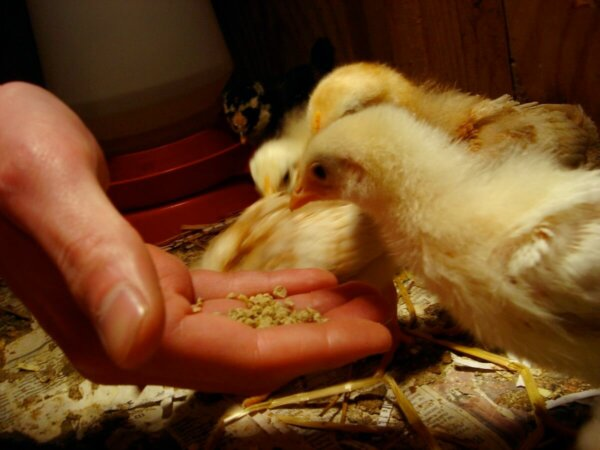 feeding chick mix