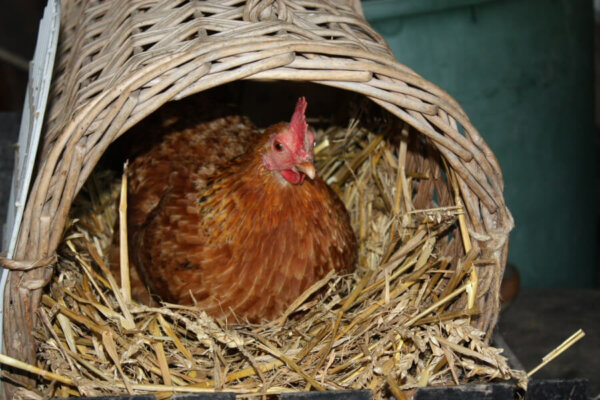 a hen sitting in a basket with hay
