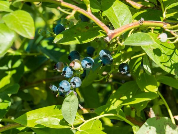 blueberries growing in a patch with lots of sunlight