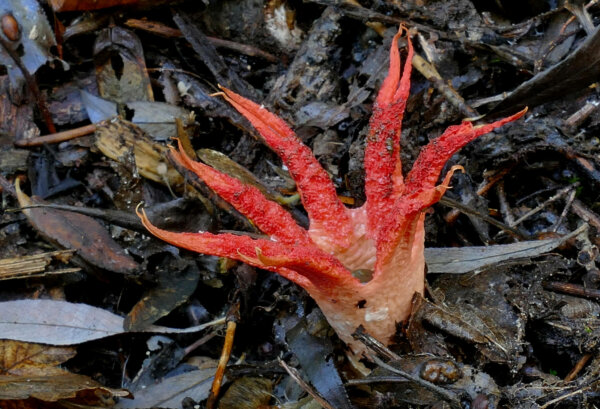 a red stinkhorn fungus growing on ground