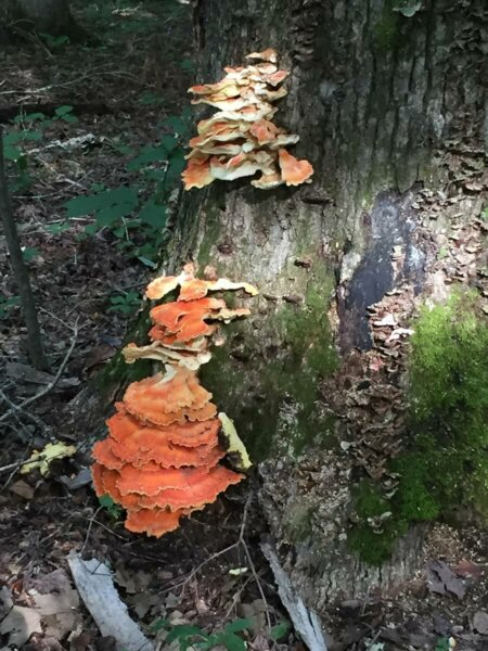 orange fungus growing on tree root