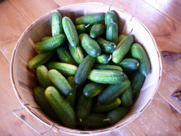 basket full of fresh cucumbers