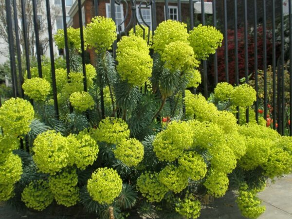 euphorbia plants growing near a fence