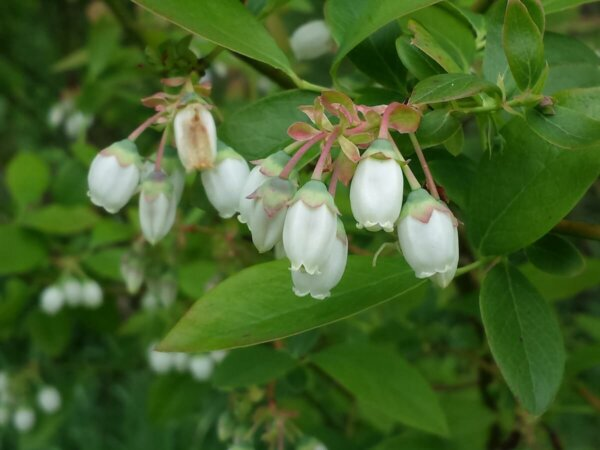 white blueberry blossoms on a blueberry plant