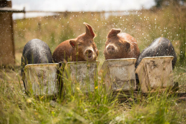 pigs cooling off in water buckets
