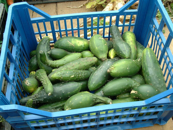 crate full of freshly picked cucumbers