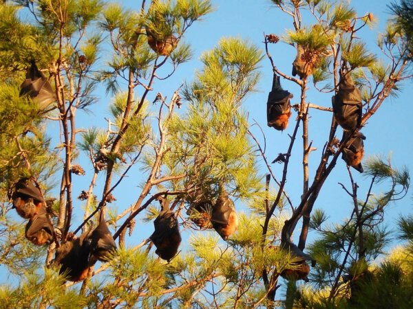 bats hanging in a tree at sunset