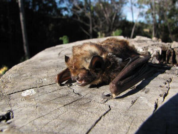 A Hoary Bat on a stump.