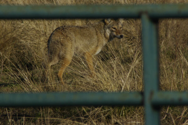 coyote looking through fence