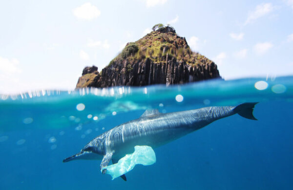 dolphin swimming with plastic bag caught on fin