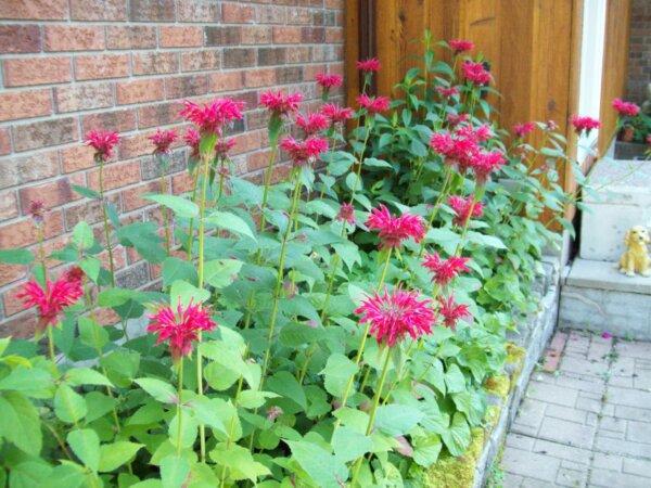 blooming oswego plant