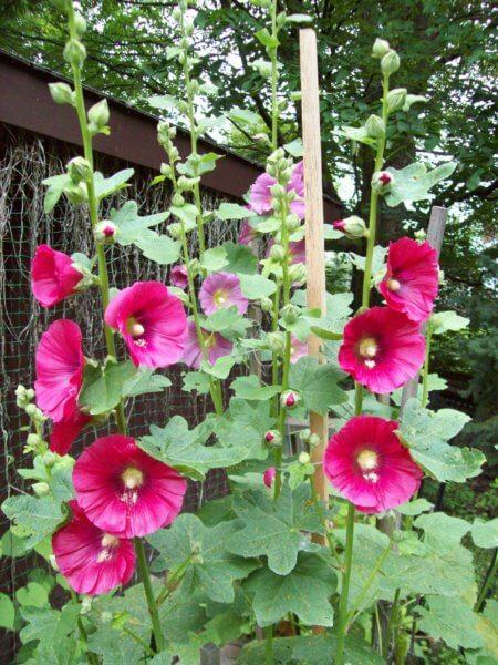 hollyhocks blooming in yard