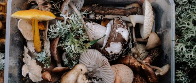 foraged mushrooms in bin