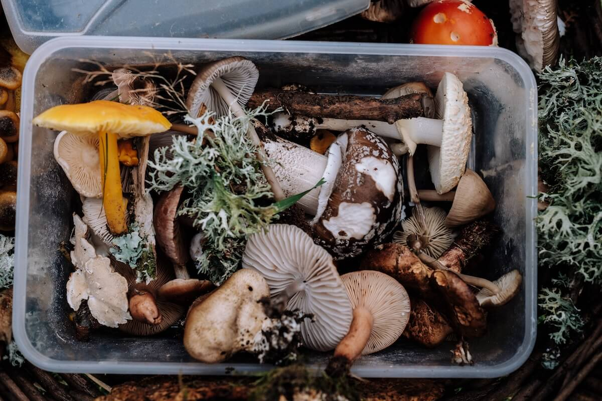 foraged mushrooms in bin