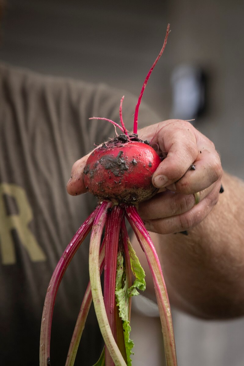 harvesting beets