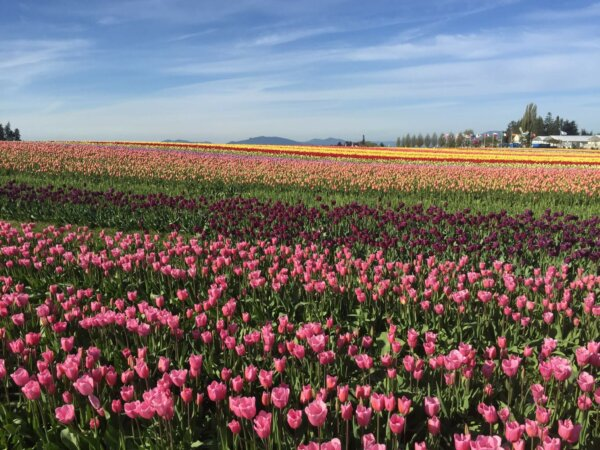 tulip fields with pink and purple flowers