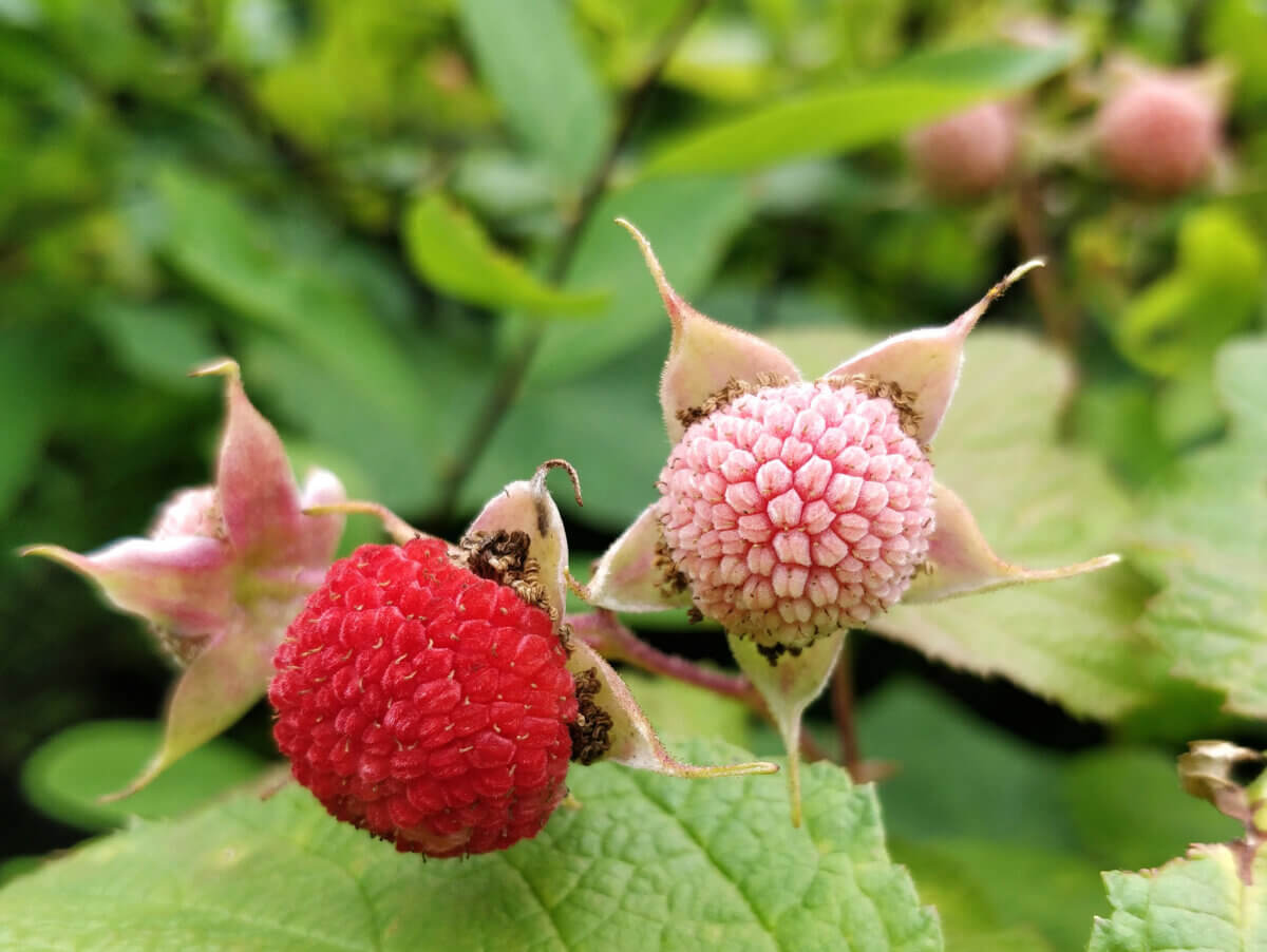 thimbleberries