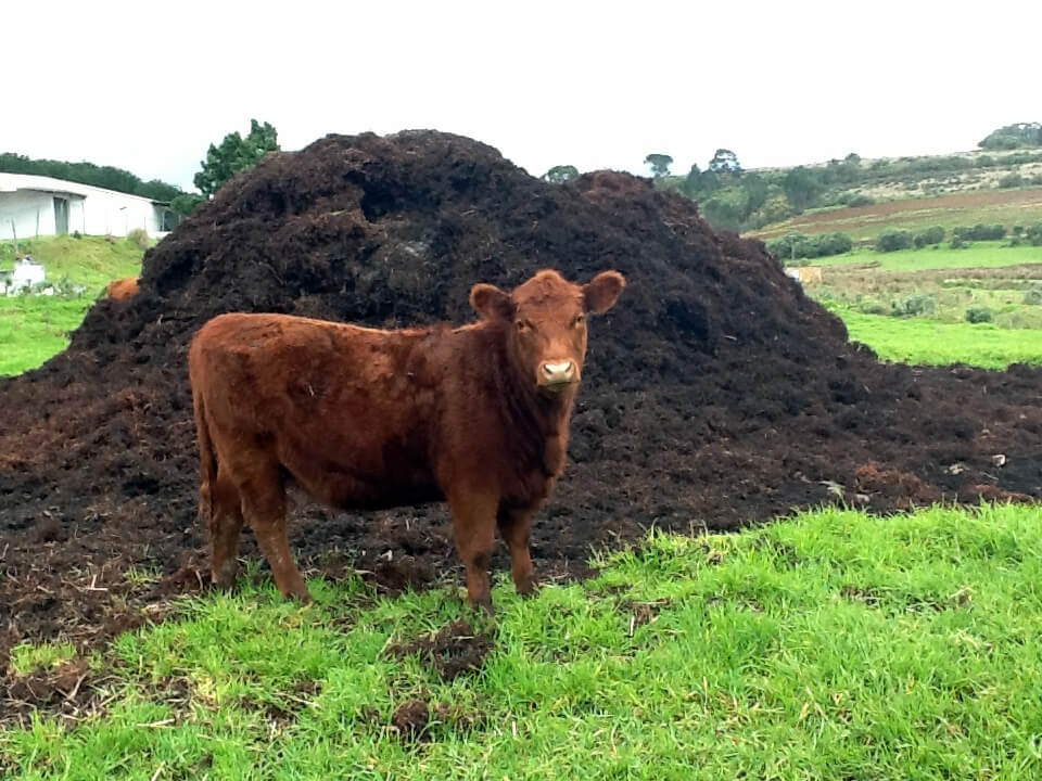 brown cow standing in grass next to pile of manure