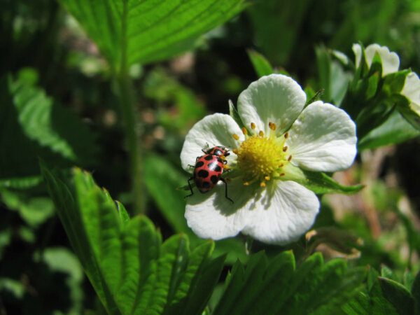 ladybug on a wild strawberry