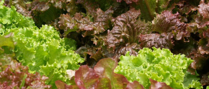 cabbage vs. lettuce