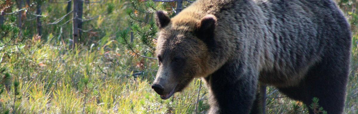 bear at yellowstone