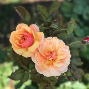 close up on two pink/orange roses