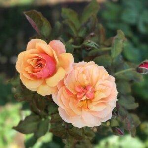 close up on two pink/orange roses