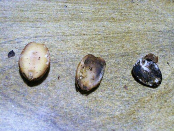 3 different acorns
