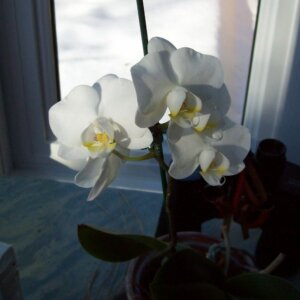 white orchid in winter