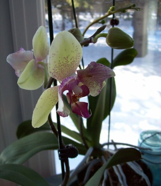 yellow-pink orchid in window