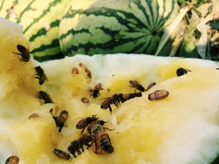 bees on melon